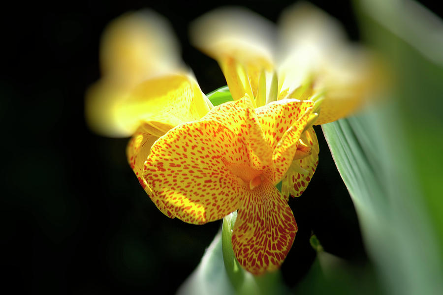 Canna Photograph - Yellow With Red Spots by Douglas Barnard