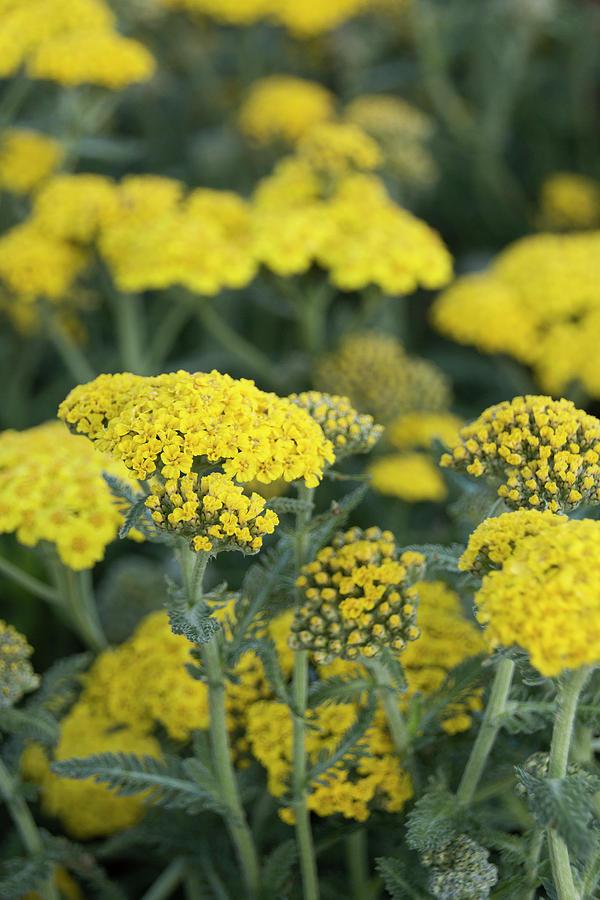 Yellow Yarrow Photograph - Yellow Yarrow by Susan Wright