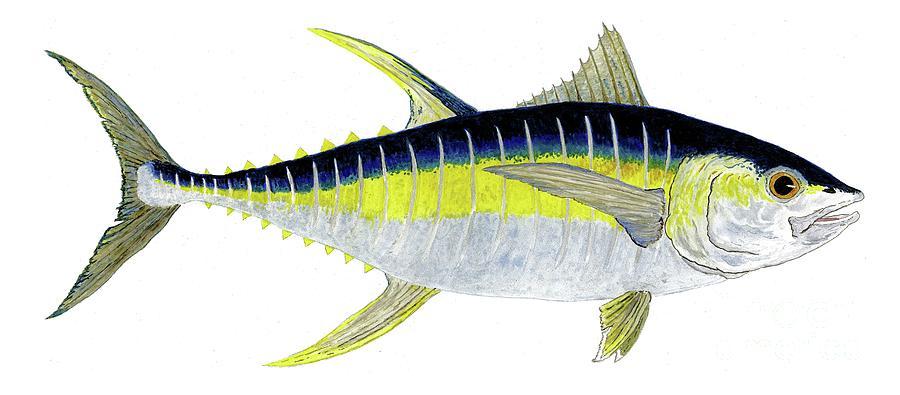 Yellowfin Tuna by Thom Glace