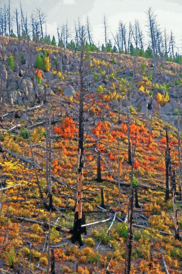 Forest Photograph - Yellowstone - Forest Burn 1 by Steve Ohlsen