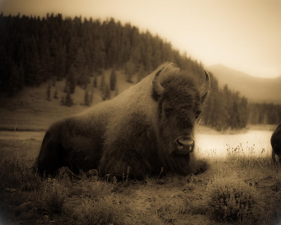 Bison Photograph - Yellowstone Bison 2 by Patrick  Flynn