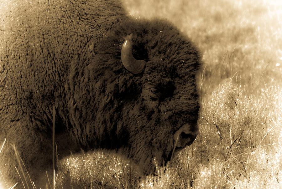Bison Photograph - Yellowstone Bison by Patrick  Flynn