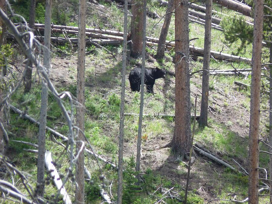 Yellowstone Photograph - Yellowstone Black Bear by Chad Hinckley