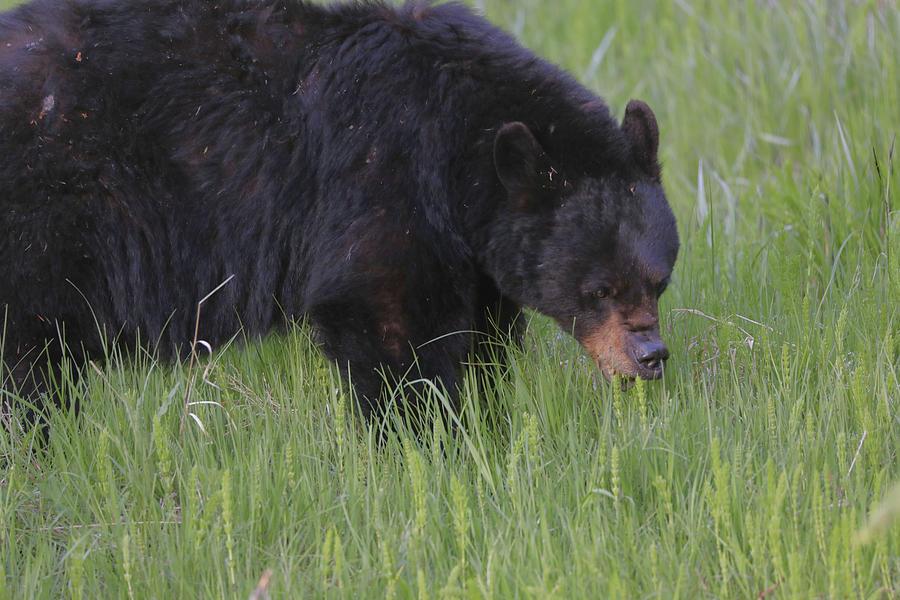 Yellowstone Black Bear Photograph - Yellowstone Black Bear Grazing by Dan Sproul