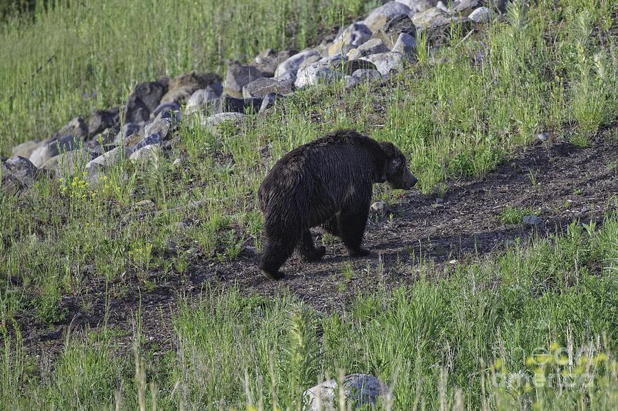 Bear Photograph - Yellowstone Black Bear by Tim Moore