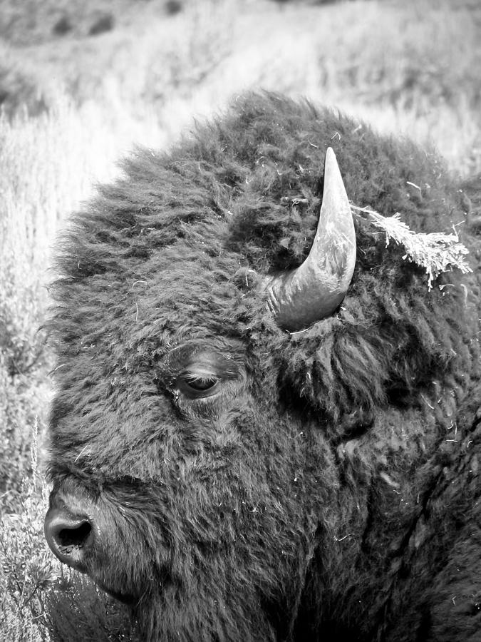 Buffalo Photograph - Yellowstone Buffalo by Jonathan Hansen