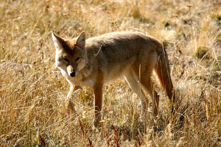 Yellowstone Photograph - Yellowstone Cyote by Dave Clark
