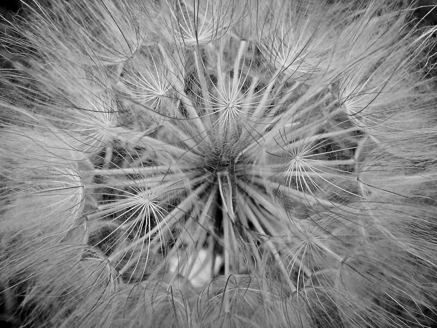 Dandelion Photograph - Yellowstone Dandelion by Jonathan Hansen