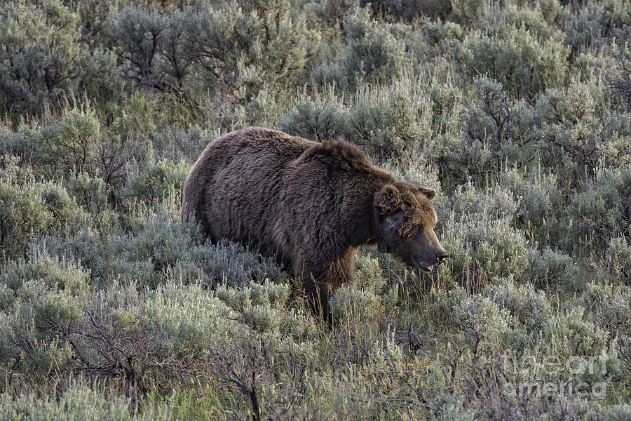 Grizzly Bear Photograph - Yellowstone Grizzly by Tim Moore