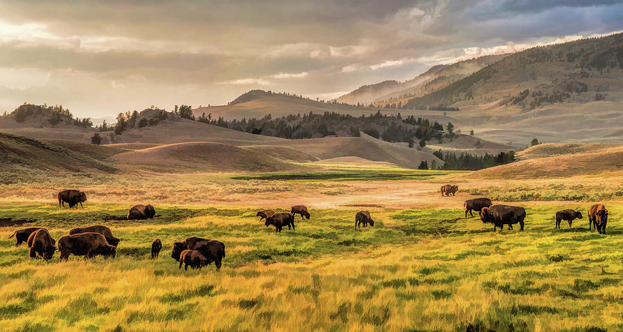 Yellowstone National Park Lamar Valley Bison Grazing Painting by ...