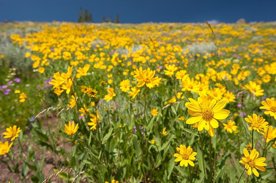 Wildflower Photograph - Yellowstone Wildflower by Chad Talton