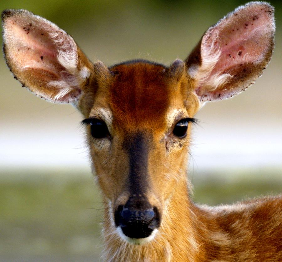 Deer Photograph - Yes Deer by Joseph Gillette