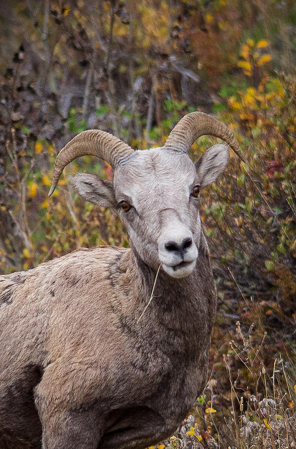 Mountain Sheep Photograph - Yes? by Penny Miller