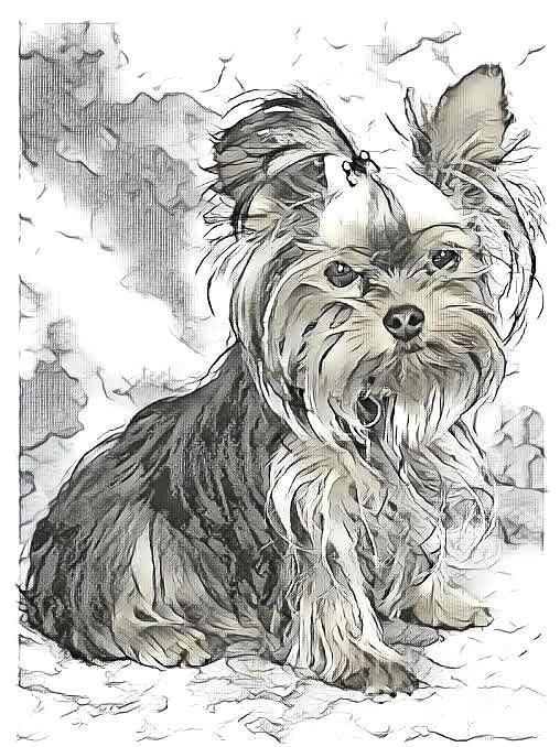 Yorkie Puppy Drawing Digital Art By Maxine Bochnia