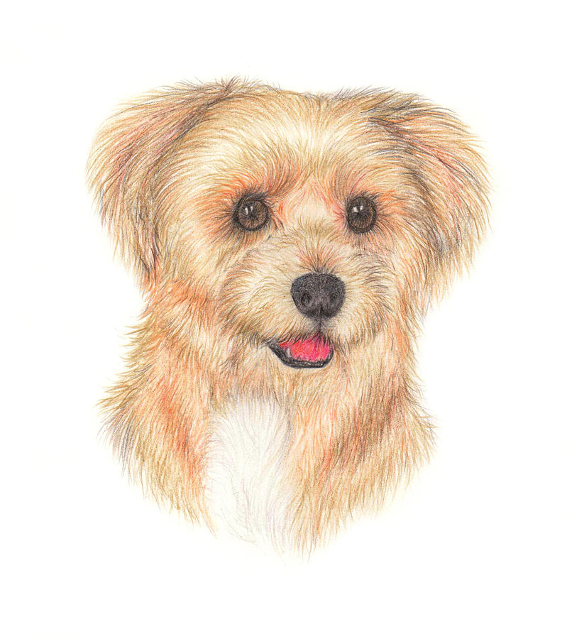 Yorkie Shih Tzu Dog By Orion Art