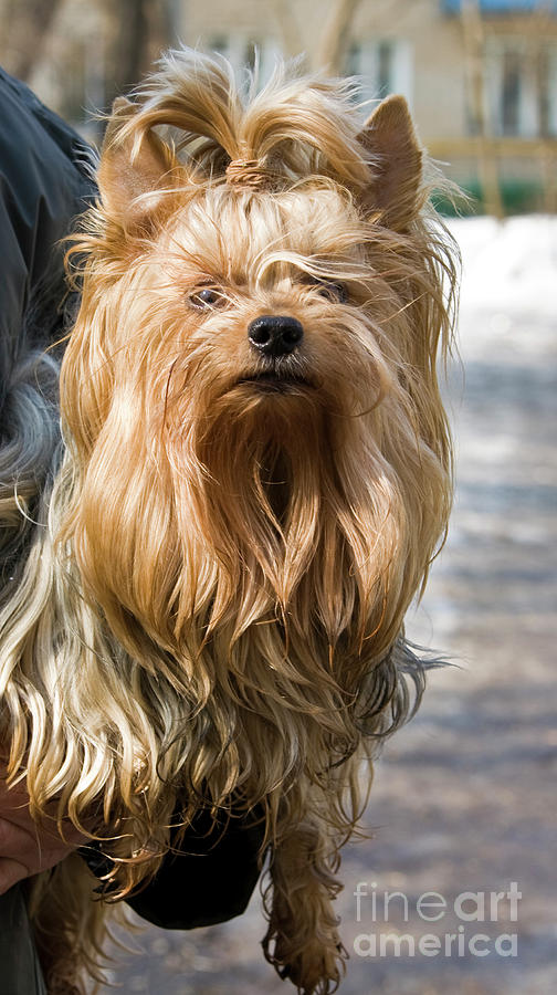 Yorkshire terrier by Irina Afonskaya