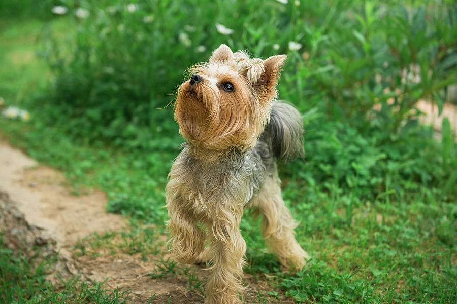 Yorkshire Terrier Photograph - Yorkshire Terrier On A Walk On A Path by Mariia Kalinichenko