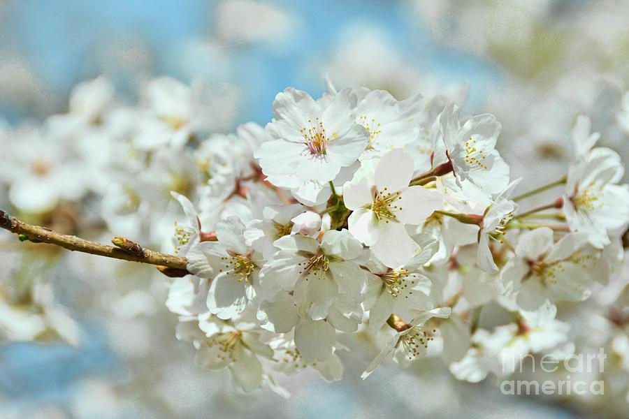 Yoshino Cherry Blossoms White II Photograph