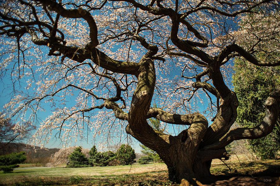 Yoshino Cherry by Dana Sohr