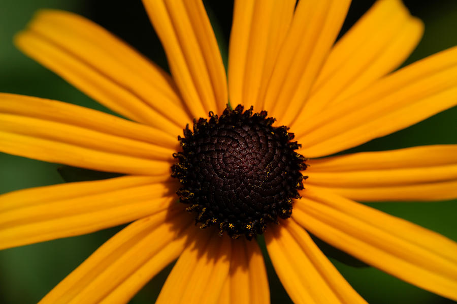 Sunflower Photograph - You Are My Sunshine by Mandy Wiltse