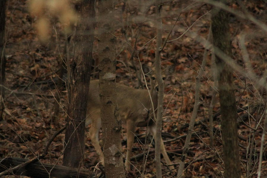 Deer Photograph - I See You  by Charles Cook