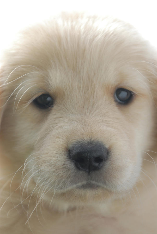 Golden Photograph - You Had Me At Woof - Golden Retriever Puppy by Stan Fellerman