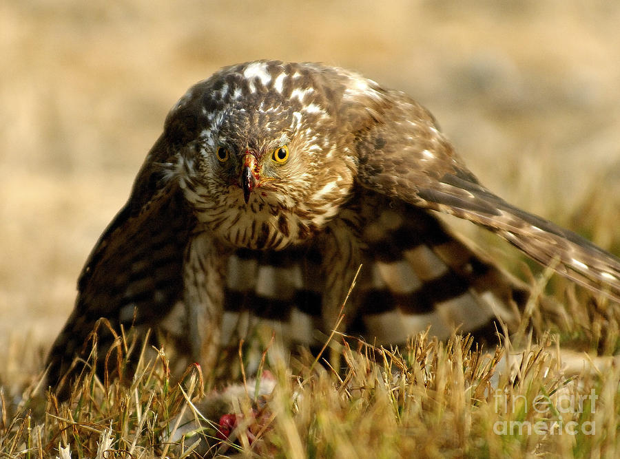 Hawk Photograph - You Lookin At Me by Marc Bittan
