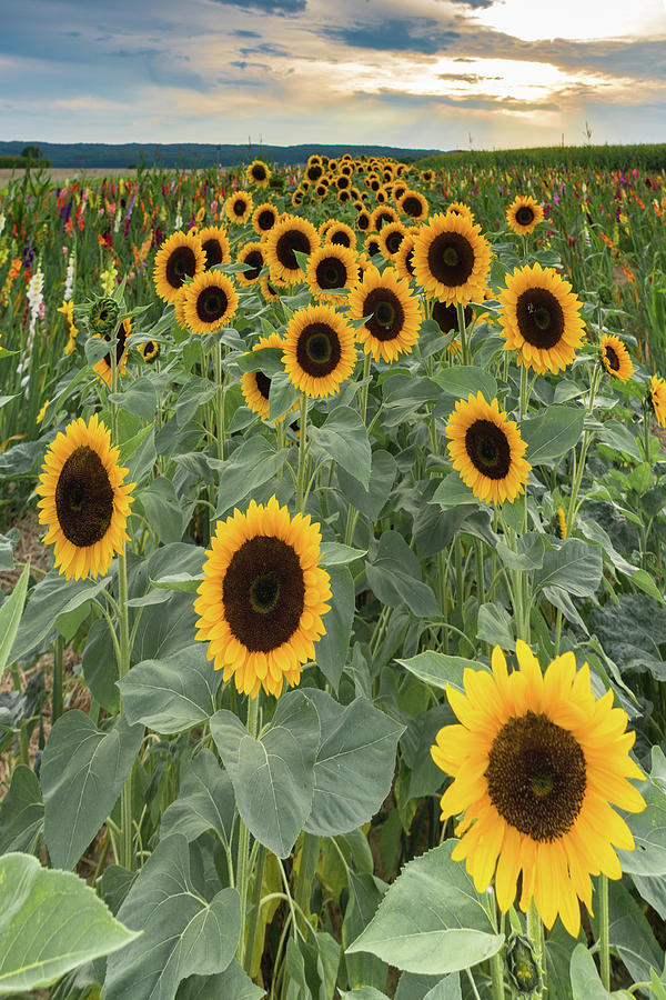 Sunflower Photograph - You Looking At Me? by Motty Henoch