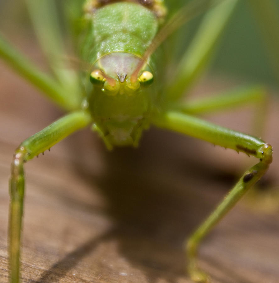 Katydid Photograph - You Said What by Douglas Barnett