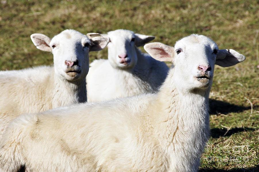 Sheep Photograph - You Talking To Me by Thomas R Fletcher