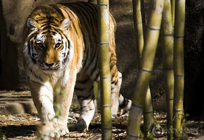 Tiger Photograph - You by Trevor Surges