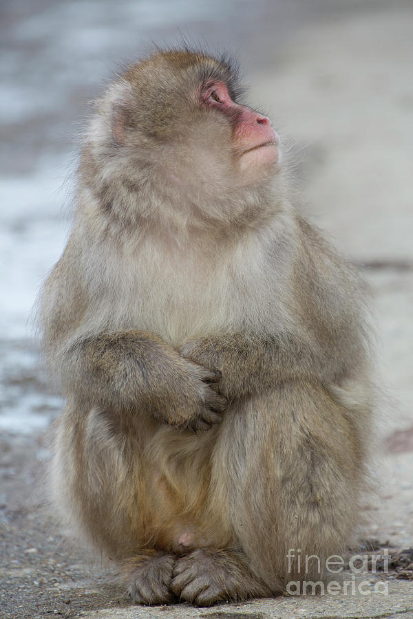 Snow Monkeys Photograph - You Up There by Leigh Lofgren