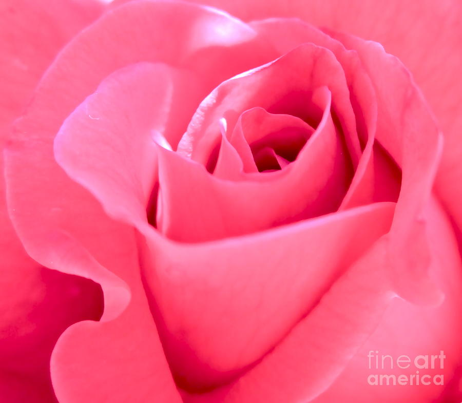 Photograph Of Pink Rose Photograph - Youmeforever by Gwyn Newcombe