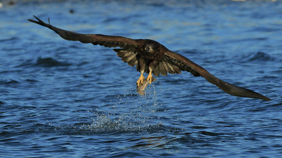 Young Bald Eagle Catching Fish Photograph By Coby Cooper