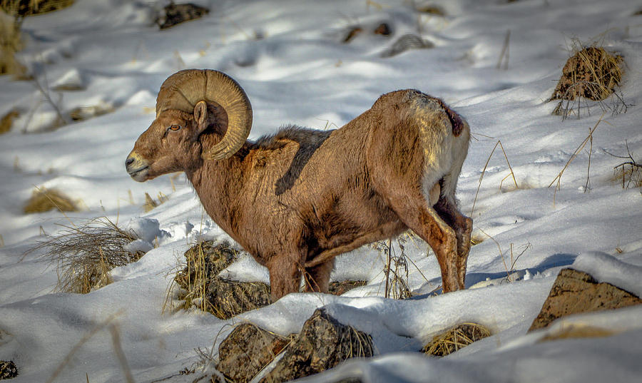 Young Bighorn Ram1 by Jason Brooks