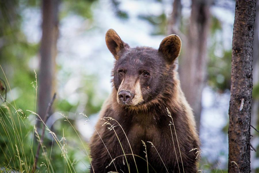 Black Bear Photograph - Young Black Bear by Dan Pearce