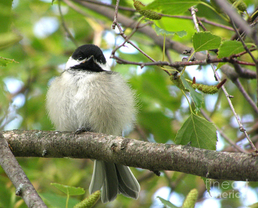 Black-capped Chickadee Photograph - Young Black-capped Chickadee by Angie Rea