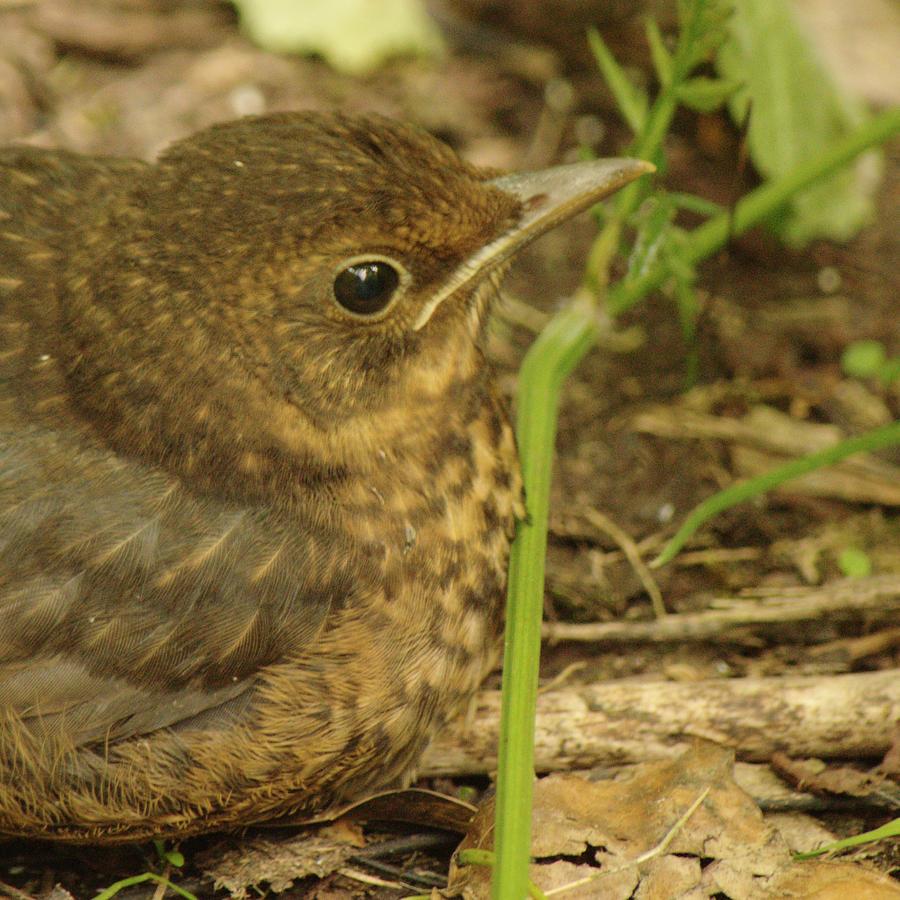 Young Blackbird Closeup by Adrian Wale