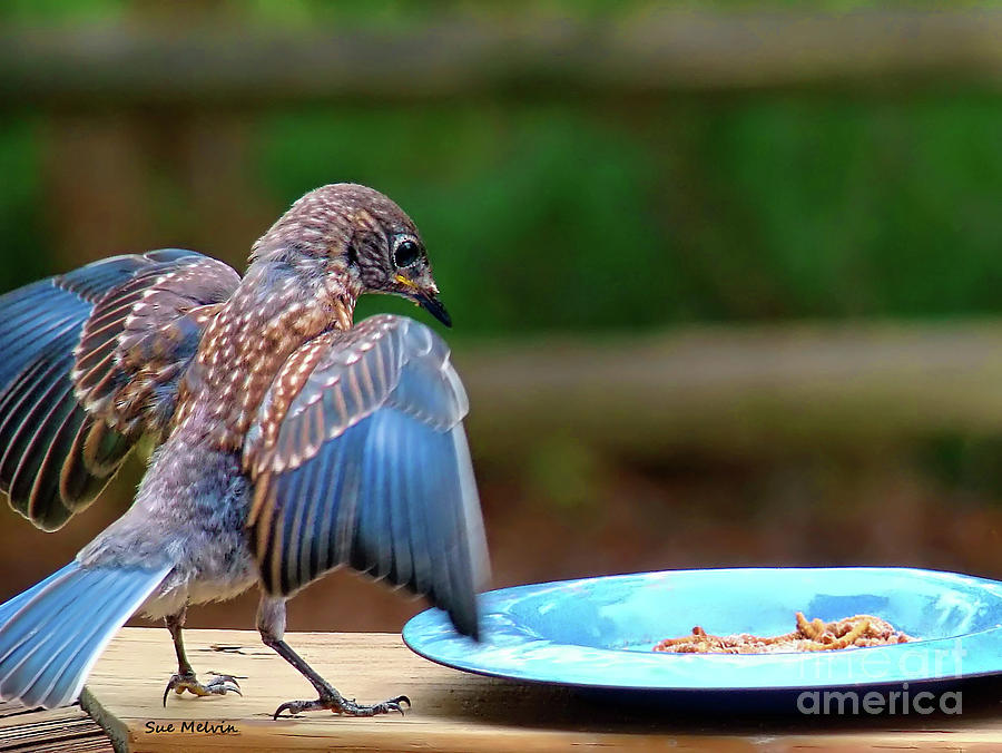 Young Bluebird's Delight by Sue Melvin