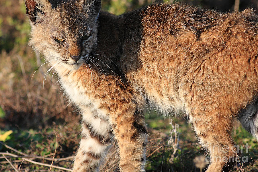 Animal Photograph - Young Bobcat 01 by Wingsdomain Art and Photography