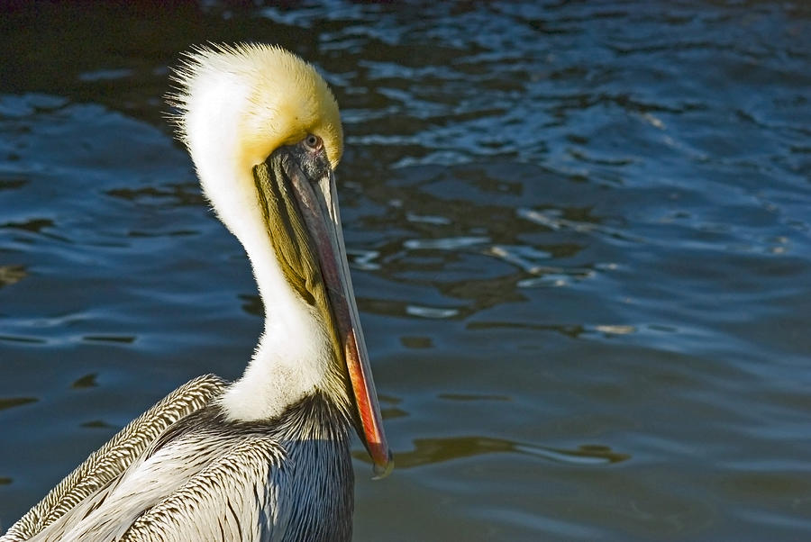Brown Pelican Photograph - Young Brown Pelican by Robert Brown