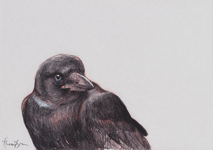 Crow Drawing - Young Crow 2 by Tracie Thompson