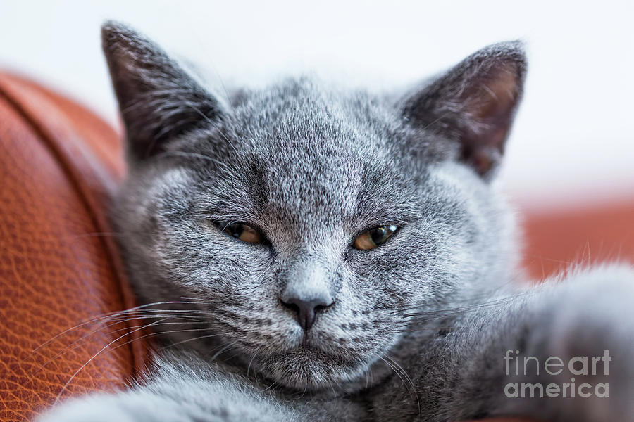Cat Photograph - Young Cute Cat Portrait Close-up. The British Shorthair Kitten With Blue Gray Fur by Michal Bednarek