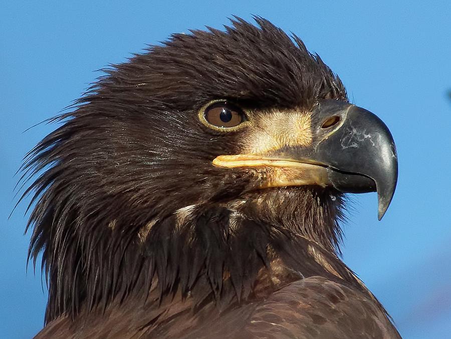 Bald Eagle Photograph - Young Eagle Head by Sheldon Bilsker