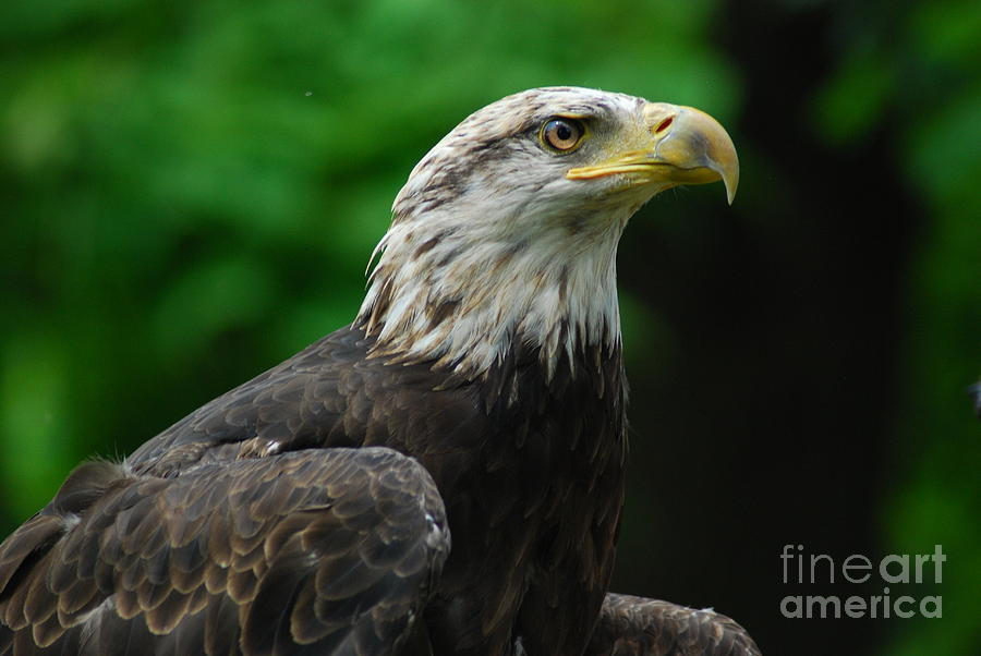 Eagle Painting - Young Eagle by LeRoy Jesfield
