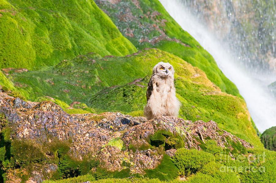 Aveyron Photograph - Young Eagle Owl by Bryan Attewell