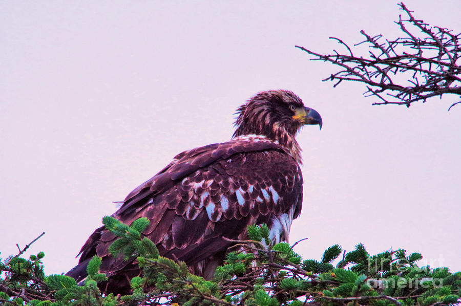 young eagle perched photograph by jeff swan