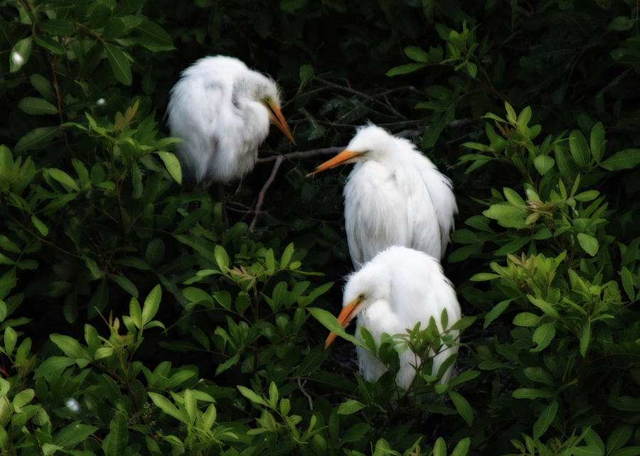 Birdwatching Photograph - Young Egrets by Don Miller