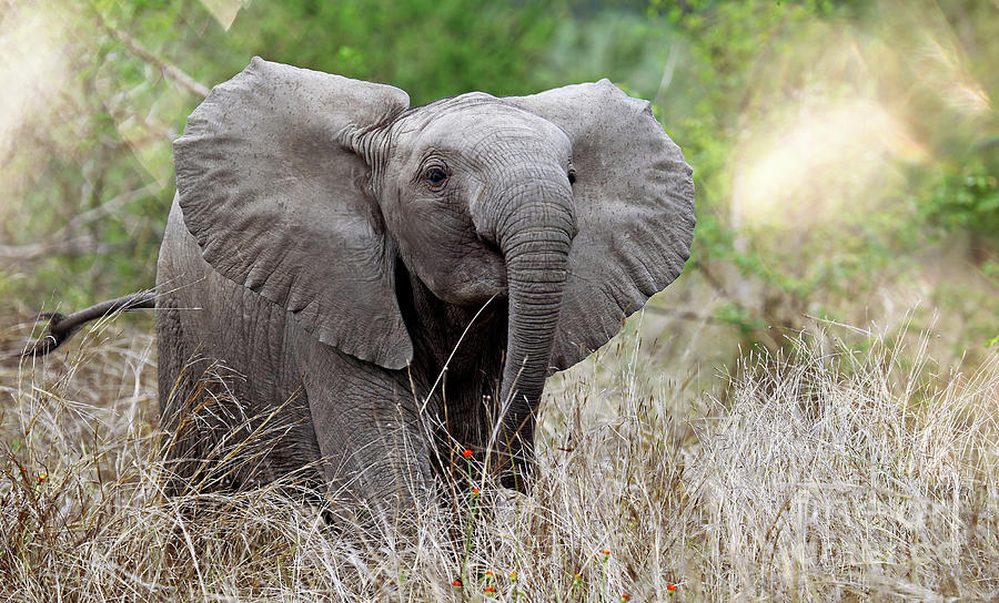 Elephant Photograph - Young Elephant In The Light, Africa Wildlife by Wibke W