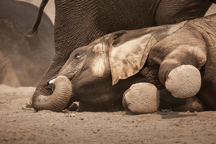 Elephant Photograph - Young Elephant Lying Down by Johan Swanepoel